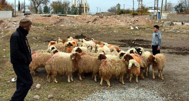 Nusaybin'de Genç Çiftçilere 185 koyun hibe edildi