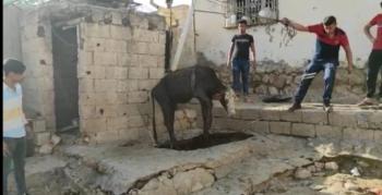 Foseptik çukuruna düşen ineği itfaiye ekipleri kurtardı