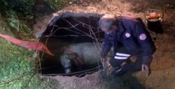 Nusaybin'de fosseptik çukuruna düşen inek kurtarıldı