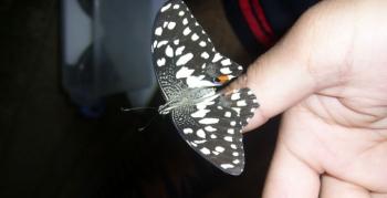 Nusaybin Güzeli Kelebeği