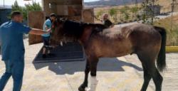 Tedavisi yapılan yaralı at, İzmir'e sevk edildi