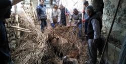 Yağış nedeniyle çöken ahırda gebe inek telef oldu