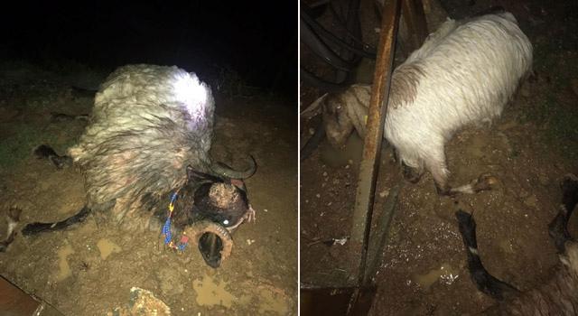 Elektrik akımına kapıldığı ileri sürülen 4 koyun telef oldu