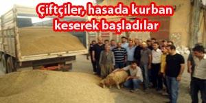 Mardin ovasında hasat başladı.