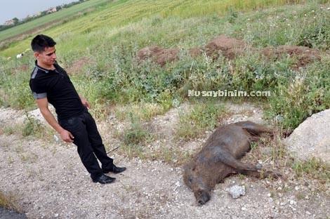 Nusaybin Köylerinde Domuz Korkusu