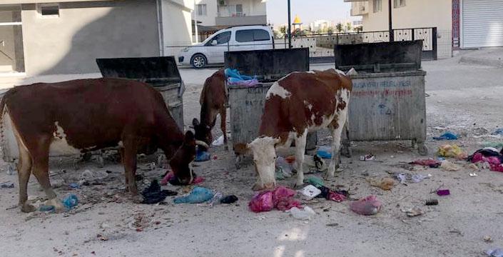 Sokağa bırakılan inekler